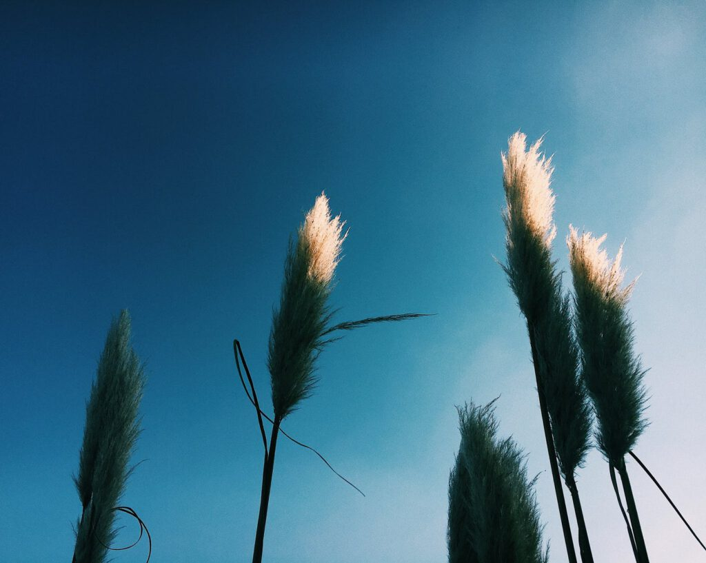 tall plants with fluffy plumes on inflorescence under blue sky